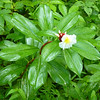 Costus speciosus (Zingiberaceae), in a Sacred Grove in the Western Ghats that is under restoration with support from the Applied Environmental Research Foundation (AERF), a grantee of the Critical Ecosystem Partnership Fund. © Conservation International / Photo by Pierre Carret.